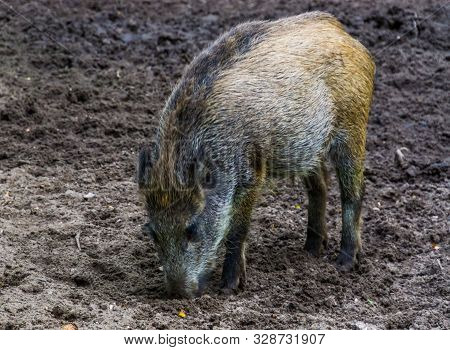portrait of a wild boar grubbing the earth, instinctual pig behavior, common animal specie from Eurasia poster