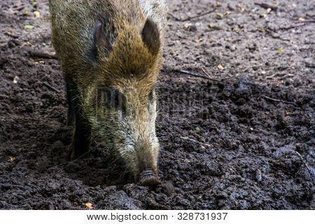 closeup of a wild boar grubbing in the earth, popular pig specie from Eurasia poster