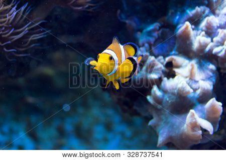 Beautiful Clownfish In The Blue Sea. Underwater.