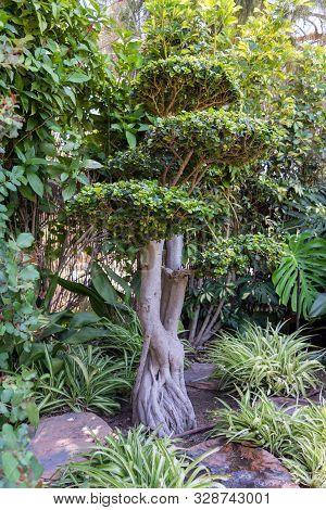 Big Bonsai In A Japanese Garden. Spain.