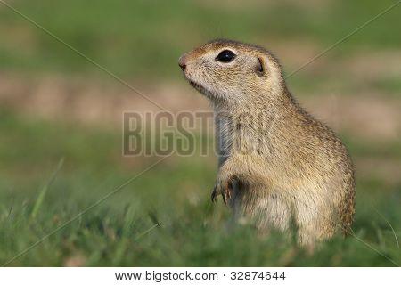 Beautiful european ground squirrel posing