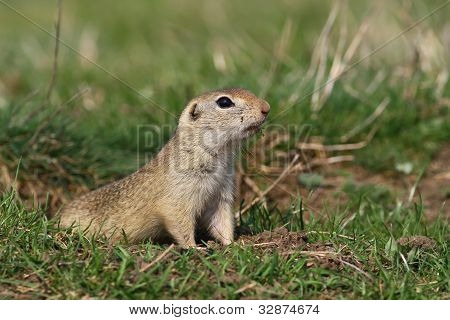 Beautiful european ground squirrel observing near hole
