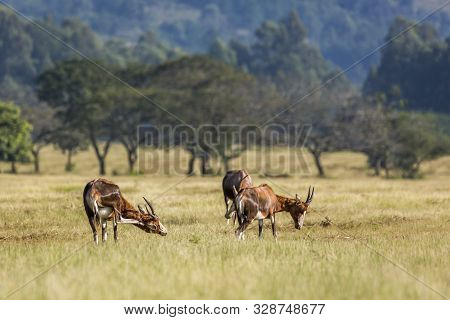 Three Blesbuck In Mlilwane Wildlife Sanctuary Scenery , Swaziland ; Specie Damaliscus Pygargus Phill