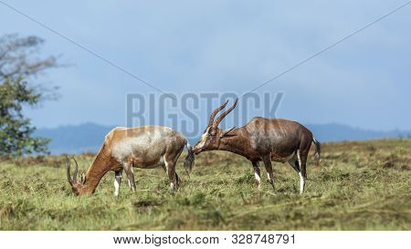 Blesbuck Couple In Mlilwane Wildlife Sanctuary Scenery, Swaziland ; Specie Damaliscus Pygargus Phill