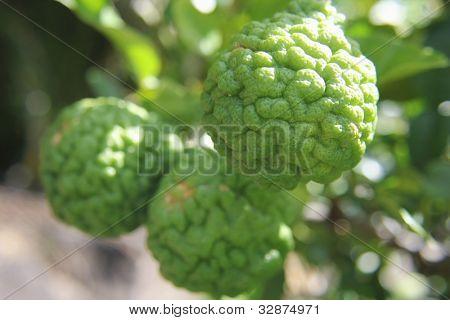 Kaffir Limes on Tree