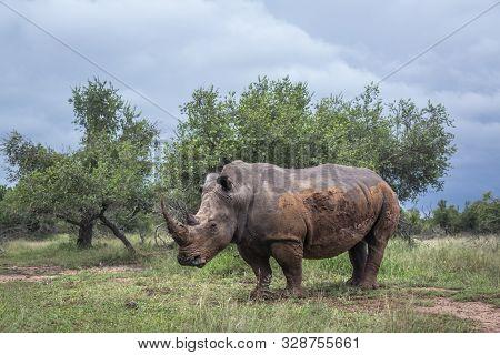 Southern White Rhinoceros In Green Savannah In Hlane Royal National Park, Swaziland ; Specie Ceratot