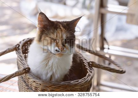 Longhair tricolor cat sits in a basket with half-closed eyes poster