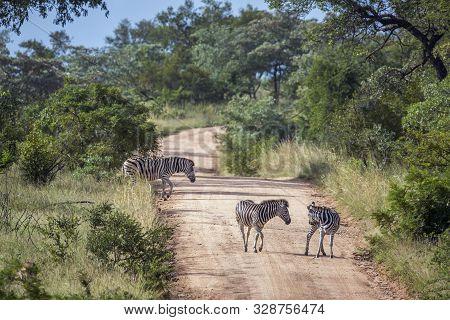 Three Plains Zebra On A Safari Gravel Road In Kruger National Park, South Africa ; Specie Equus Quag