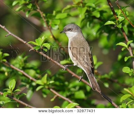 Lesser White throat sitting on the branch