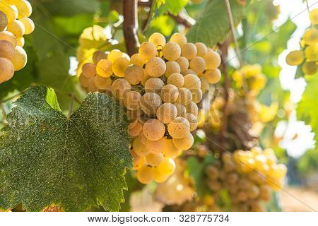 Vineyards At Sunset In Autumn Harvest. Ripe Grapes In Fall. Alvarinho Wine Vineyards In Portugal.
