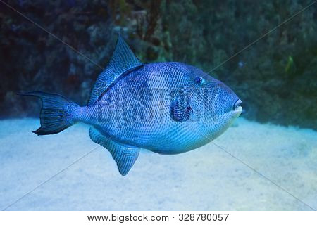 Blue Triggerfish (pseudobalistes Fuscus) In Sea Water.