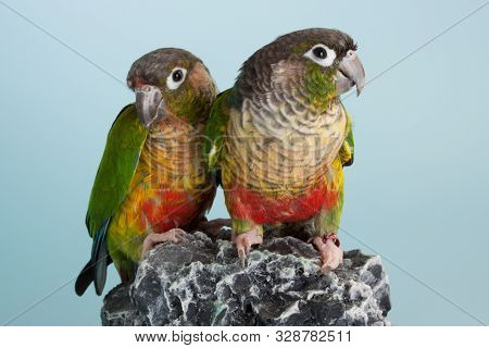 Couple Of Colorful Parrot Conure Bird As Pet Animal
