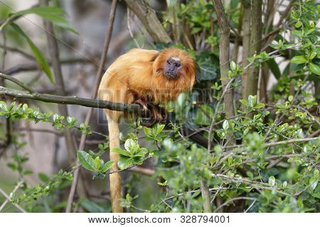 Golden Lion Tamarin - Leontopithecus Rosalia  Rare New World Monkey From Atlantic Brazil Coast