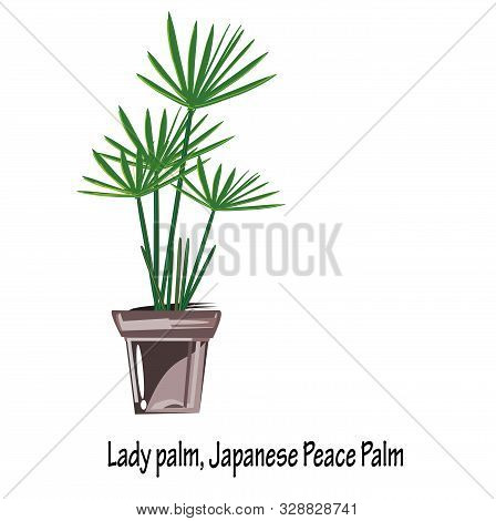 Bamboo Palm(rhapis Excelsa),lady Palm, Japanese Peace Palm Are By Far One Of The Easier Plants To Ca
