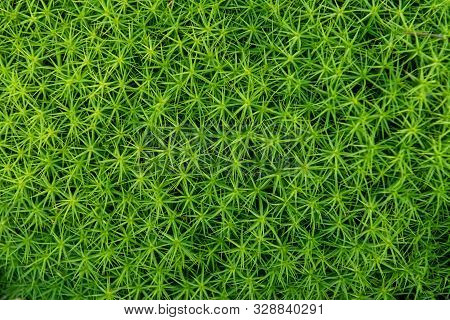 Green Moss Background . Star Moss (polytrichum Commune) Seen From Above