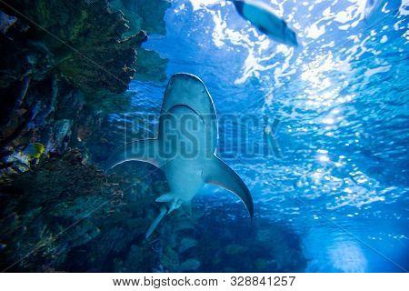 Underwater Great White Shark
