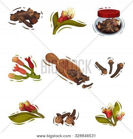 Clove Plant Botanical Cooking Vector Illustrated Set