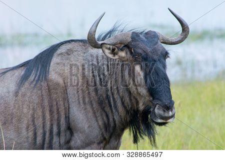 Blue Wildebeest (connochaetes Taurinus), Also Called The Common Wildebeest, White-bearded Wildebeest