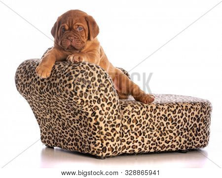 dogue de bordeaux puppy on a leopard skin dog couch isolated on white background