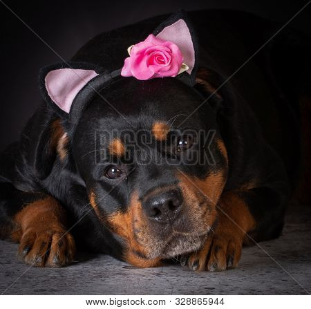 female Rottweiler wearing a funny head band on black background