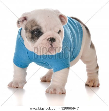 male English bulldog puppy isolated on white background