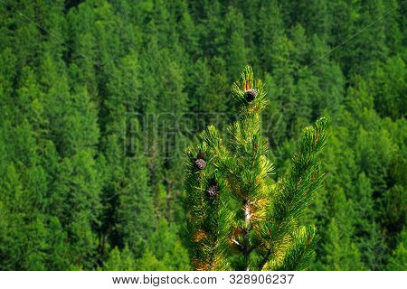 Young Cedar Cones In The Forest, The Cone Is Covered With Resin Close-up Against The Background Of T