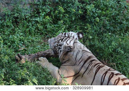 Menacing Stare Of A White Bengal Tiger. - Image