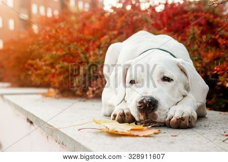 Dogo Argentino Lies On Grass In Autumn Park Near Red Leaves. Canine Background