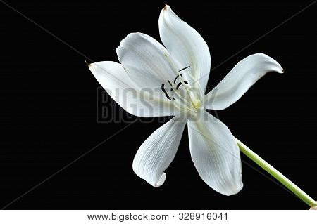 White Crinum Lily On The Black Background