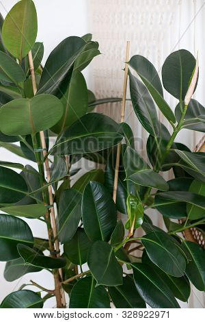 Close Up Of Green Ficus Plant, Minimalistic Style. Ficus Elastica Plant(rubber Tree) With White Back