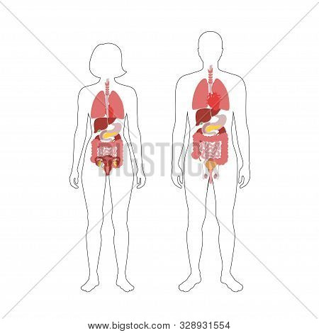 Vector Isolated Illustration Of Human Internal Organsof Man And Woman. Stomach, Liver, Intestine, Bl