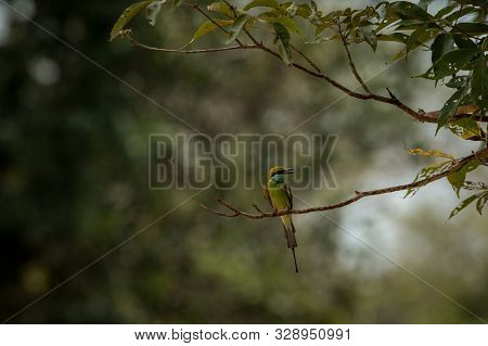The Blue-tailed Bee-eater (merops Philippinus) Perching On Branch, Colorful Bird On Clear Background
