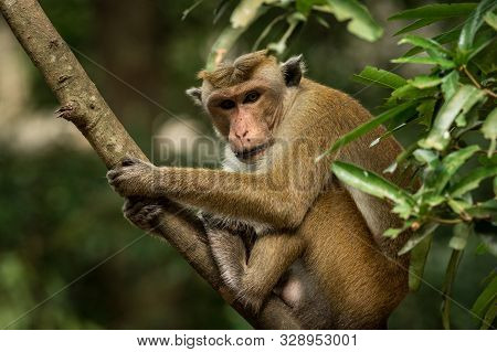 Toque Macaque (macaca Sinica) Monkeys Are A Group Of Old World Monkeys Native To The Indian Subconti