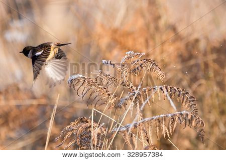 A Stonechat (saxicola Torquata) Through A Frost Covered Meadow During Winter And Knocks The Frost An