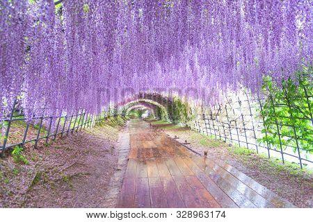 The Great Wisteria Flower Arch. Wisteria Tunnel At Kawachi Fuji Garden (fukuoka, Japan)