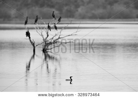 Cormorants And Anhingas Perching On Dead Tree On Lake, Flock Of Birds On Clear Background, Yala Nati