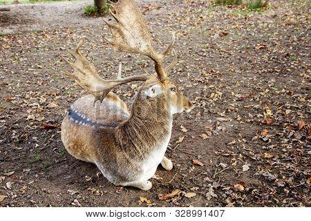 A Looking Backwards Fallow Deer, Latin Dama Dama