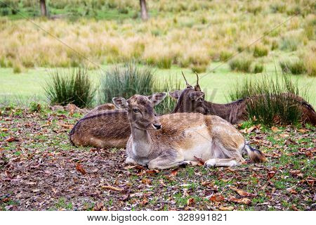 Several Fallow Deer In A Meadow, Latin Dama Dama And Cervus Dama