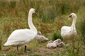 Pen & Cob with family of month-old cygnets poster
