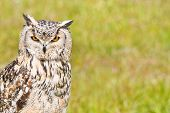 Siberian Eagle Owl or Bubo bubo sibericus - Eagle owl with lighter colored feathers poster