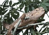 Bearded dragon climbing on a plant outdoor poster