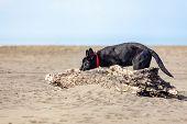 Portrait of Black German shepherd on green grass. Animal. poster