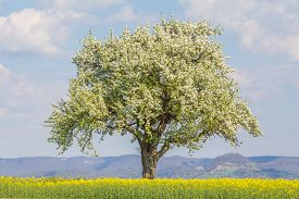 Large Single Tree In Warm Spring Nature With Blooming Blossoms. One Majestic Tree In Warm Time Of Ye