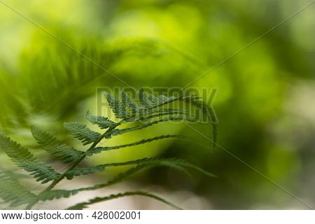 Green Fern Leaves In The Forest For Background. Natural Green Fern Leaves Texture In The Forest Clos