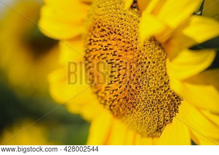 Beautiful Delicate Yellow Sunflower Flower Close-up On A Natural Background, Center Of Growing Flowe