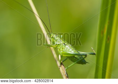 Big Green Grasshopper In The Spring Grass. Green Locust Sits On A Plant. Big Cricket On A Green Blur