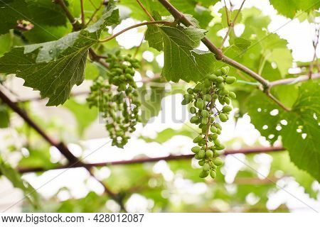Young Unripe Green Bunch Of Grapes On The Vine