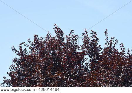 Black Cherry Plum - Latin Name - Prunus Cerasifera Nigraa
