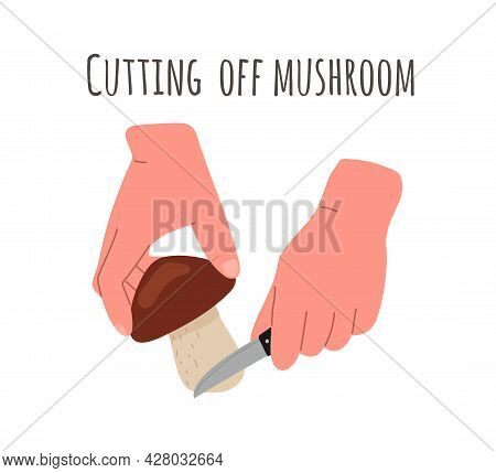 Mushroom Harvest, Picking.gathering Mushrooms, The Method Of Cutting Mushrooms By The Root With A Kn