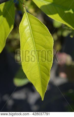 Lemon Leaf - Latin Name - Citrus Limon